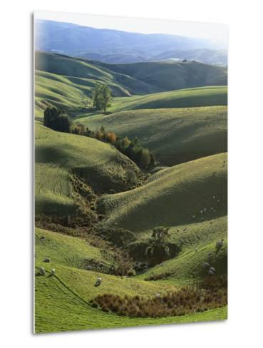 Neuseeland, Sv¼dinsel, Nahe Lawrence, Otago, Hv¼gellandschaft, Schafe, New Zealand-Thonig-Metal Print