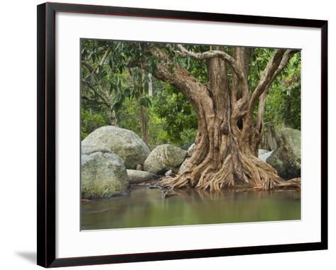 Giant Tree at River Than Sadet, Island Koh Phangan, Thailand-Rainer Mirau-Framed Art Print