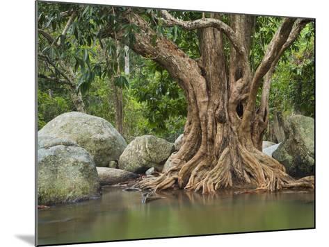Giant Tree at River Than Sadet, Island Koh Phangan, Thailand-Rainer Mirau-Mounted Photographic Print