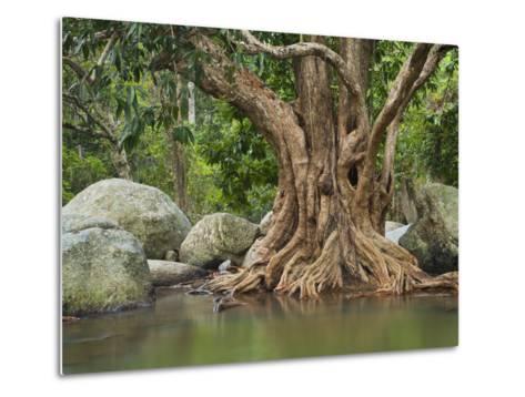 Giant Tree at River Than Sadet, Island Koh Phangan, Thailand-Rainer Mirau-Metal Print