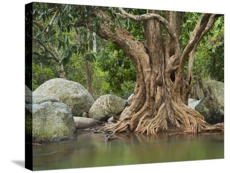 Giant Tree at River Than Sadet, Island Koh Phangan, Thailand-Rainer Mirau-Stretched Canvas Print
