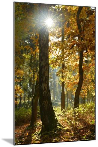 Sunrays in the Mixed Forest, Autumn, Harz, Near Wernigerode, Saxony-Anhalt, Germany-Andreas Vitting-Mounted Photographic Print