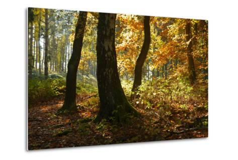 Sunny Mixed Forest in Autumn, Harz, Near Wernigerode, Saxony-Anhalt, Germany-Andreas Vitting-Metal Print