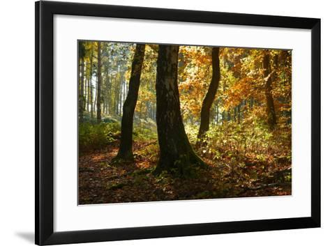 Sunny Mixed Forest in Autumn, Harz, Near Wernigerode, Saxony-Anhalt, Germany-Andreas Vitting-Framed Art Print