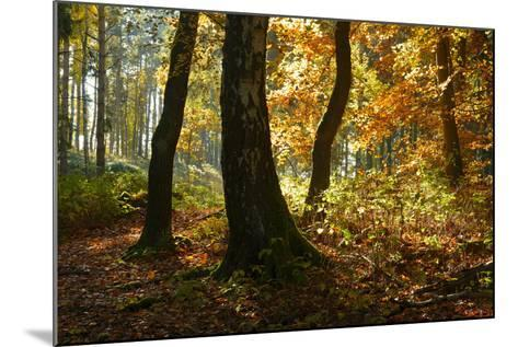 Sunny Mixed Forest in Autumn, Harz, Near Wernigerode, Saxony-Anhalt, Germany-Andreas Vitting-Mounted Photographic Print
