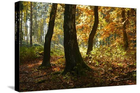 Sunny Mixed Forest in Autumn, Harz, Near Wernigerode, Saxony-Anhalt, Germany-Andreas Vitting-Stretched Canvas Print