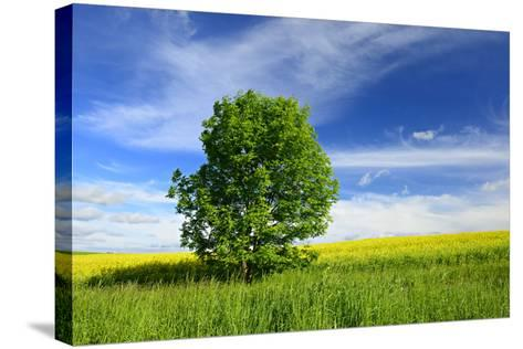 Tree on the Edge of a Rape Field in the Spring, Saalekreis, Saxony-Anhalt, Germany-Andreas Vitting-Stretched Canvas Print