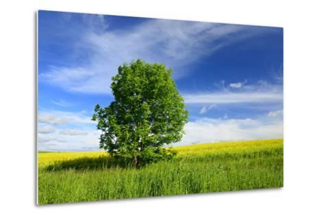 Tree on the Edge of a Rape Field in the Spring, Saalekreis, Saxony-Anhalt, Germany-Andreas Vitting-Metal Print
