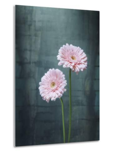 Gerbera, Flowers, Blossoms, Pink, Still Life-Axel Killian-Metal Print