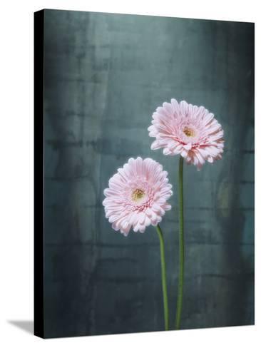 Gerbera, Flowers, Blossoms, Pink, Still Life-Axel Killian-Stretched Canvas Print