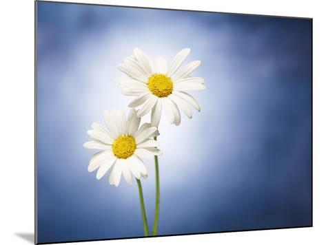 Marginuerites, Flowers, Blossoms, Still Life, Blue, White-Axel Killian-Mounted Photographic Print