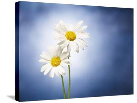Marginuerites, Flowers, Blossoms, Still Life, Blue, White-Axel Killian-Stretched Canvas Print