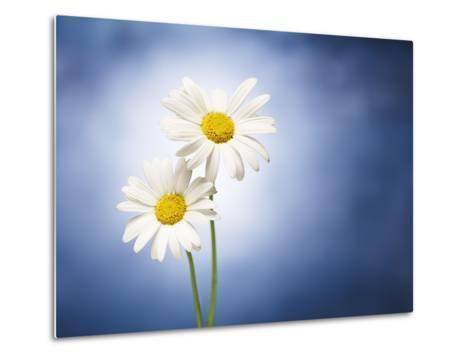 Marginuerites, Flowers, Blossoms, Still Life, Blue, White-Axel Killian-Metal Print