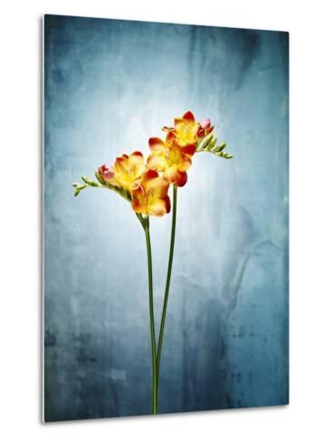 Freesia, Flower, Blossoms, Buds, Still Life, Red, Yellow, Blue-Axel Killian-Metal Print