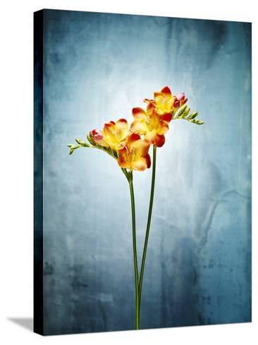 Freesia, Flower, Blossoms, Buds, Still Life, Red, Yellow, Blue-Axel Killian-Stretched Canvas Print