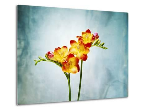 Freesia, Flower, Blossoms, Buds, Still Life, Red, Yellow, Blue-Axel Killian-Metal Print