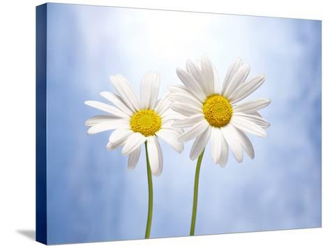 Marguerites, Flowers, Blossoms, Still Life, Blue, White-Axel Killian-Stretched Canvas Print