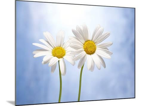 Marguerites, Flowers, Blossoms, Still Life, Blue, White-Axel Killian-Mounted Photographic Print