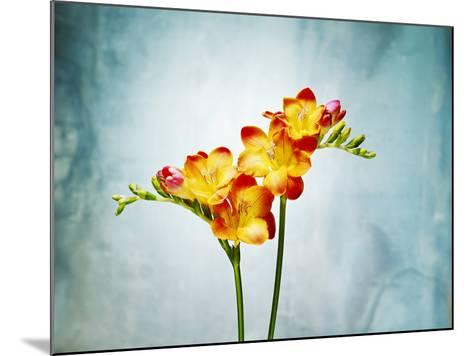 Freesia, Flower, Blossoms, Buds, Still Life, Red, Yellow, Blue-Axel Killian-Mounted Photographic Print