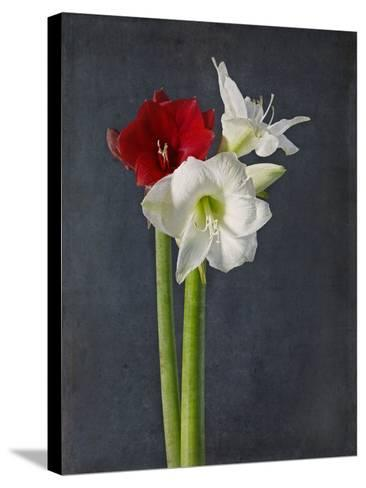 Amaryllis, Flowers, Blossoms, Still Life, Red, White, Black-Axel Killian-Stretched Canvas Print