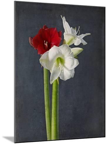 Amaryllis, Flowers, Blossoms, Still Life, Red, White, Black-Axel Killian-Mounted Photographic Print