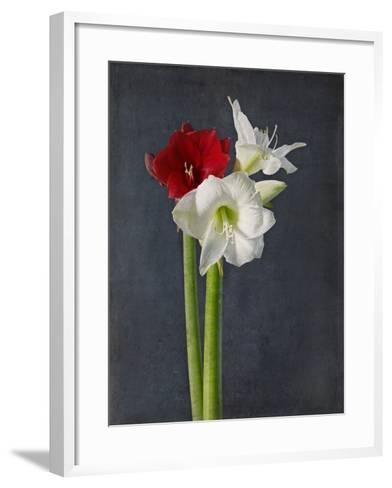 Amaryllis, Flowers, Blossoms, Still Life, Red, White, Black-Axel Killian-Framed Art Print