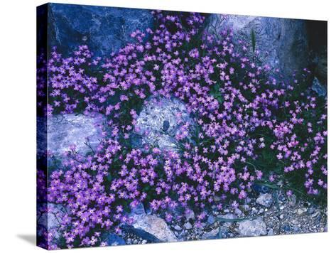 Steine, Blv¼ten, Malcolmia Flexuosa, Pflanzen, Blumen, Wildblumen, Wildpflanzen-Thonig-Stretched Canvas Print