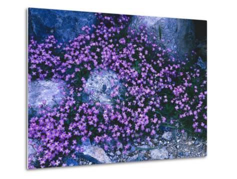 Steine, Blv¼ten, Malcolmia Flexuosa, Pflanzen, Blumen, Wildblumen, Wildpflanzen-Thonig-Metal Print