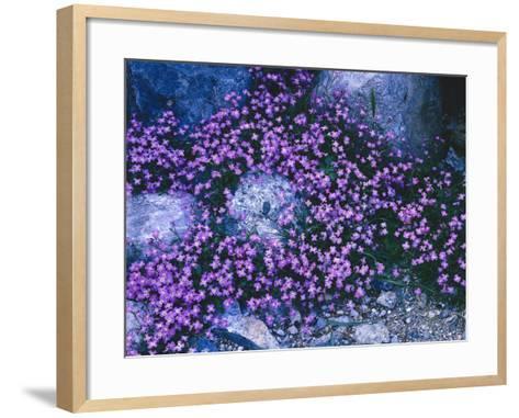 Steine, Blv¼ten, Malcolmia Flexuosa, Pflanzen, Blumen, Wildblumen, Wildpflanzen-Thonig-Framed Art Print
