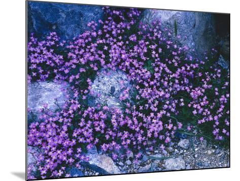 Steine, Blv¼ten, Malcolmia Flexuosa, Pflanzen, Blumen, Wildblumen, Wildpflanzen-Thonig-Mounted Photographic Print