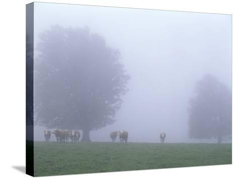 Germany, Baden-WŸrttemberg, Black Forest, Schauinsland, Cows in Fog-Andreas Keil-Stretched Canvas Print