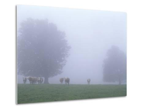 Germany, Baden-WŸrttemberg, Black Forest, Schauinsland, Cows in Fog-Andreas Keil-Metal Print