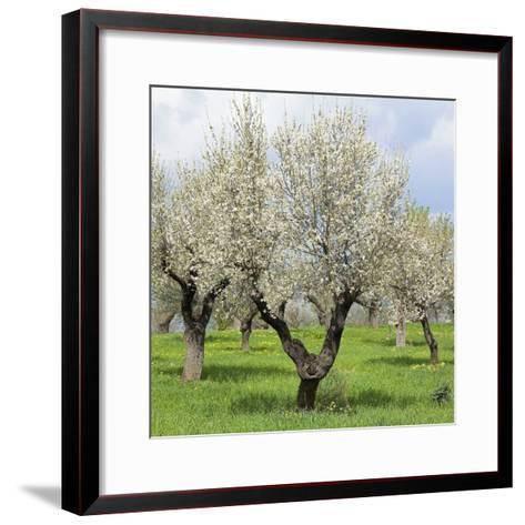 Spain, Balearic Islands, Island Majorca, Almond-Trees, Blooming-Steffen Beuthan-Framed Art Print