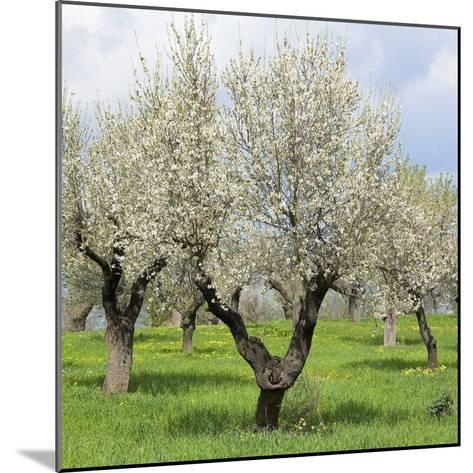 Spain, Balearic Islands, Island Majorca, Almond-Trees, Blooming-Steffen Beuthan-Mounted Photographic Print