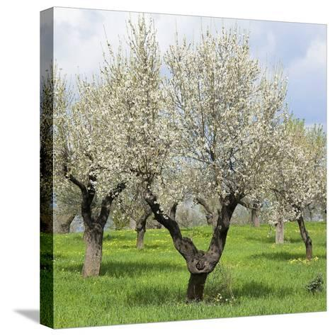 Spain, Balearic Islands, Island Majorca, Almond-Trees, Blooming-Steffen Beuthan-Stretched Canvas Print