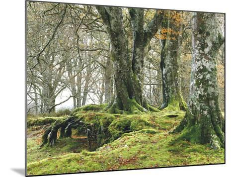 Forest, Beech Trees, Forest Soil, Moss, Autumn-Thonig-Mounted Photographic Print