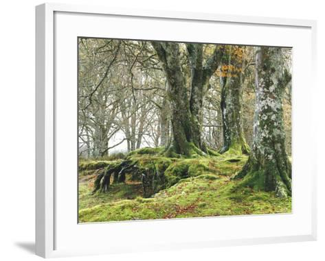Forest, Beech Trees, Forest Soil, Moss, Autumn-Thonig-Framed Art Print