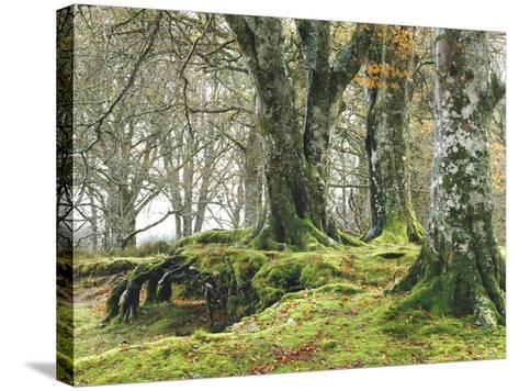 Forest, Beech Trees, Forest Soil, Moss, Autumn-Thonig-Stretched Canvas Print