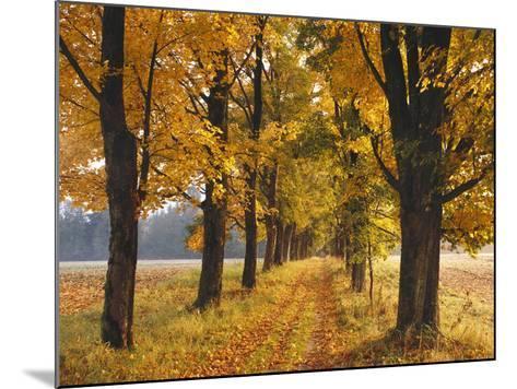 Maple Trees, Avenue, Autumn-Thonig-Mounted Photographic Print