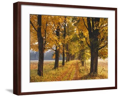 Maple Trees, Avenue, Autumn-Thonig-Framed Art Print