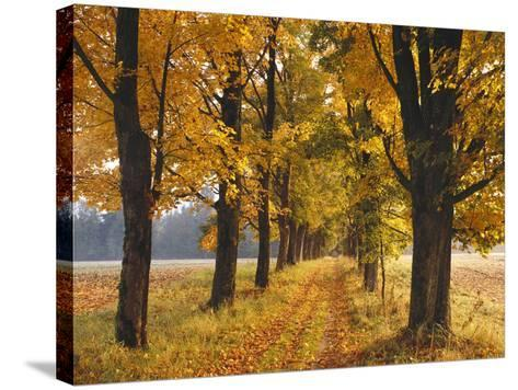 Maple Trees, Avenue, Autumn-Thonig-Stretched Canvas Print