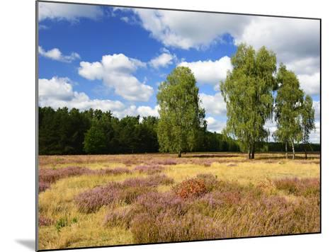 Heath Landscape, Blossoming Heather, Birches, Near Lychen, Brandenburg, Germany-Andreas Vitting-Mounted Photographic Print
