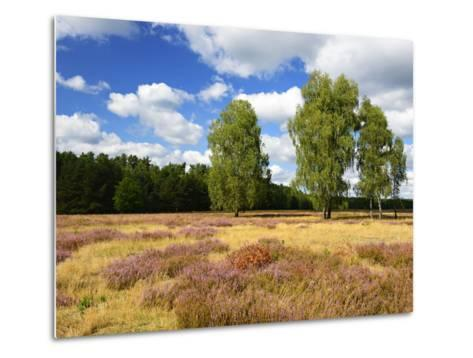 Heath Landscape, Blossoming Heather, Birches, Near Lychen, Brandenburg, Germany-Andreas Vitting-Metal Print