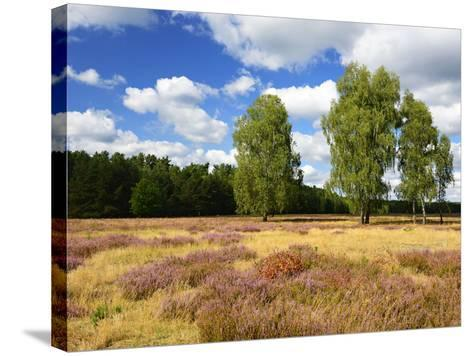 Heath Landscape, Blossoming Heather, Birches, Near Lychen, Brandenburg, Germany-Andreas Vitting-Stretched Canvas Print