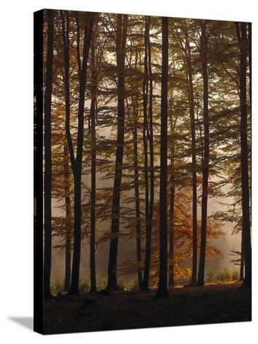 Spruce Forest, Way, Morning Fog-Thonig-Stretched Canvas Print
