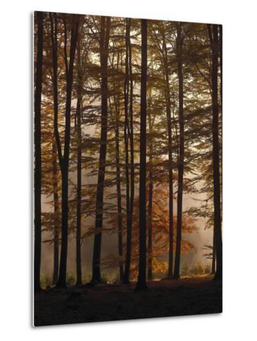 Spruce Forest, Way, Morning Fog-Thonig-Metal Print