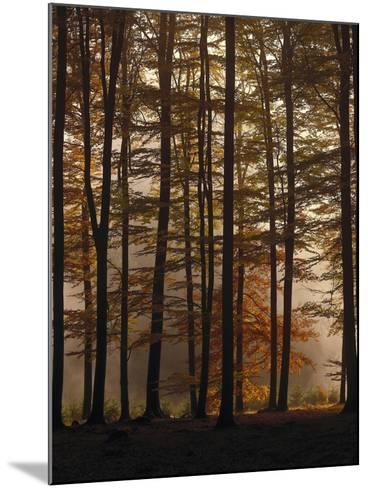 Spruce Forest, Way, Morning Fog-Thonig-Mounted Photographic Print