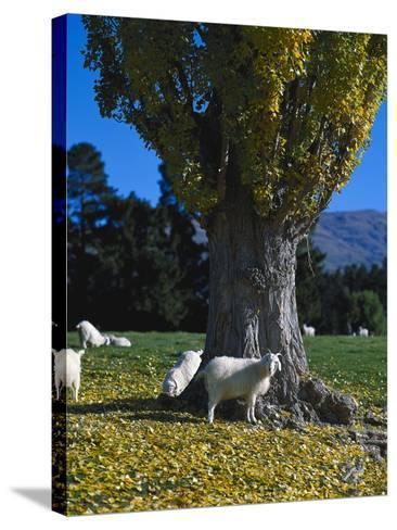 Neuseeland, Sv¼dinsel, Herbst, , Weide, Ziegen , New Zealand-Thonig-Stretched Canvas Print