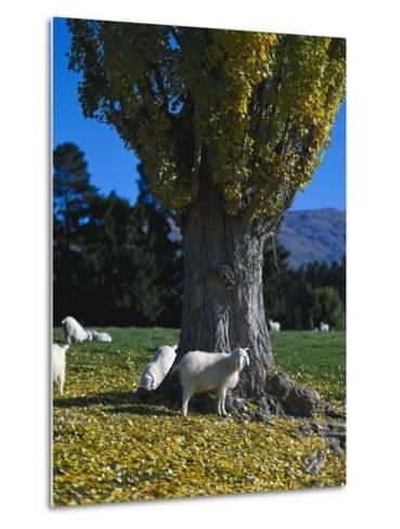 Neuseeland, Sv¼dinsel, Herbst, , Weide, Ziegen , New Zealand-Thonig-Metal Print