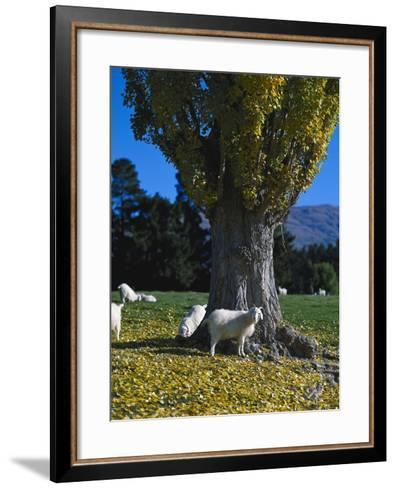 Neuseeland, Sv¼dinsel, Herbst, , Weide, Ziegen , New Zealand-Thonig-Framed Art Print